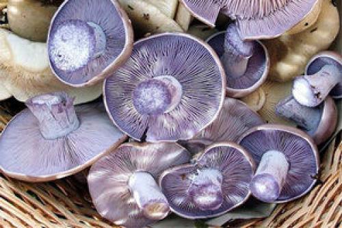 Рядовки грибы, как пожарить. Синюшки